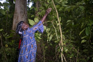 (A women harvests leaves from Gnetum (okok) in village of Minwoho, Ewodioula, Cameroon. Credit: Ollivier Girard for CIFOR)